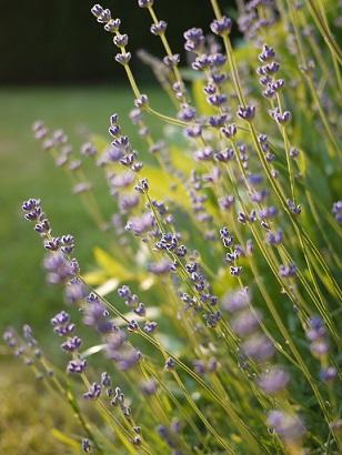 Nekonečné pole poseté levandulí a slunečnicemi reprezentují to, co si turisté pod názvem Provence představují.